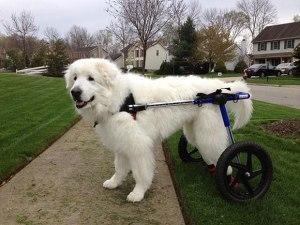 tratamento-cachorro-paraplegico